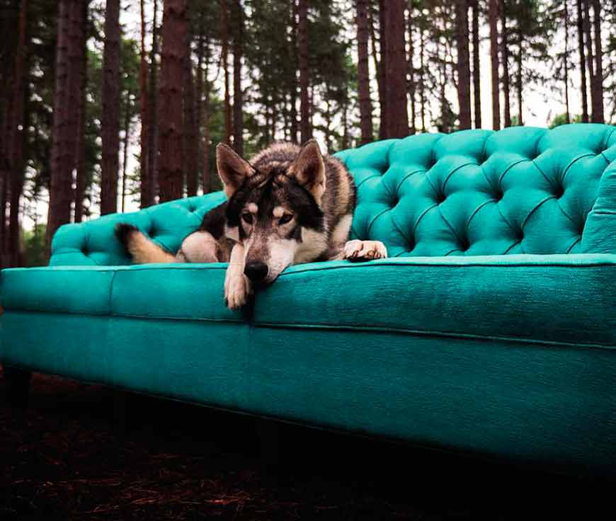 wolf on outdoor luxury sofa